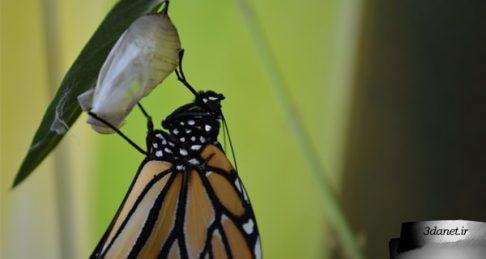 کِرمهایی که پروانه میشوند!